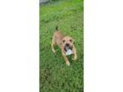 Adopt Pup 2 a Brown/Chocolate - with White Boxer / Hound (Unknown Type) dog in
