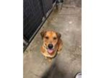 Adopt CHUBBS a Red/Golden/Orange/Chestnut Shepherd (Unknown Type) / Mixed dog in