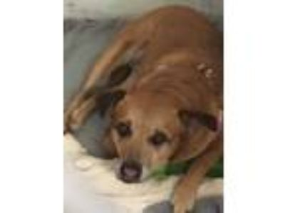 Adopt C. B. a Tan/Yellow/Fawn Boxer / Mixed dog in North Aurora, IL (25639026)