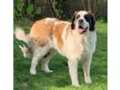 Adopt ELSIE a Tricolor (Tan/Brown & Black & White) St. Bernard / Mixed dog in