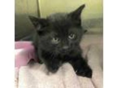 Adopt Ickis a All Black Domestic Shorthair / Domestic Shorthair / Mixed cat in