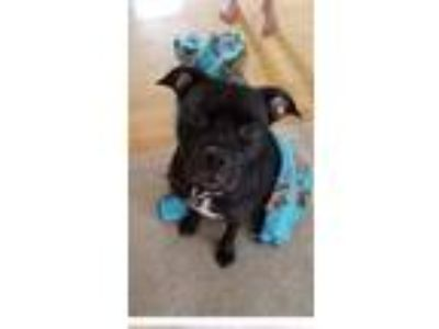 Adopt Buddy a Black - with White Terrier (Unknown Type, Medium) dog in