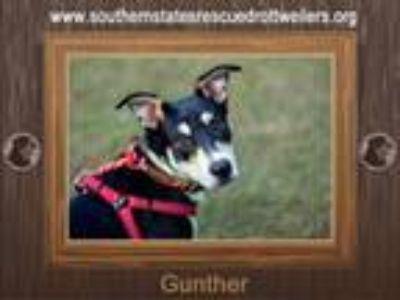 Adopt Gunther a Rottweiler