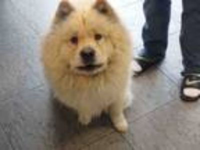 Adopt LEO a Mixed Breed, Chow Chow
