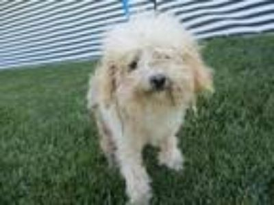 Adopt Toula a Terrier (Unknown Type, Small) / Poodle (Standard) / Mixed dog in