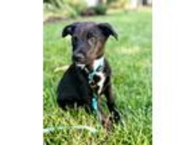 Adopt Teddy a Black - with White Labrador Retriever / Mixed dog in GREENLAWN