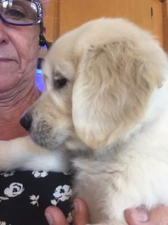 Golden Retriever PUPPY FOR SALE ADN-97805 - English Cream Golden Retrievers