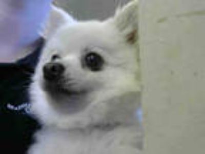 Adopt a White Pomeranian / Mixed dog in Sacramento, CA (25594864)