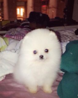 Pomeranian PUPPY FOR SALE ADN-108712 - Teacup Pomeranian Fluffy