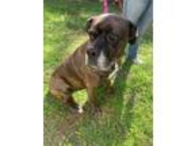 Adopt Mallie a Brindle Boxer / Mixed dog in Dothan, AL (24747651)