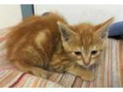 Adopt SPARK a Orange or Red Tabby Domestic Shorthair / Mixed (short coat) cat in