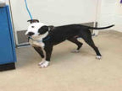 Adopt ZAYDA a Black - with White American Staffordshire Terrier / Mixed dog in