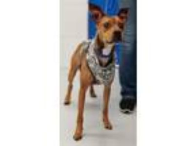 Adopt Mambo -Foster Needed a Boxer, Italian Greyhound