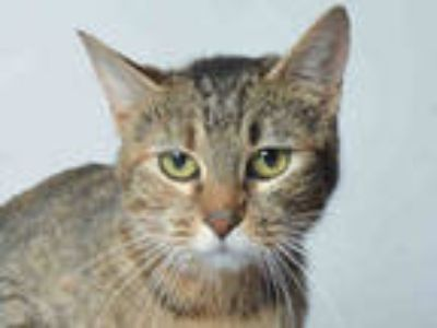 Adopt BETSY a Brown Tabby Domestic Shorthair / Mixed (short coat) cat in Ukiah