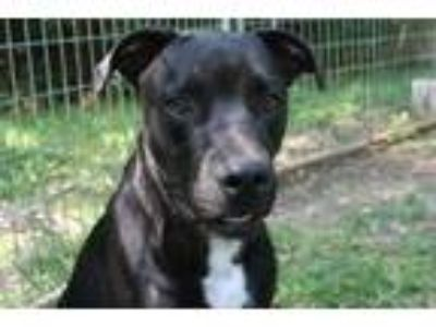 Adopt Shorty a Labrador Retriever, Border Collie