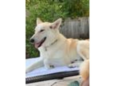 Adopt Dixie Pearl a German Shepherd Dog, Husky