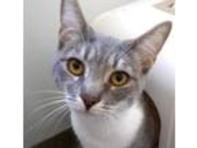 Adopt Lee a Domestic Short Hair