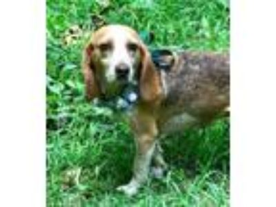 Adopt Lollipop a Beagle, Labrador Retriever