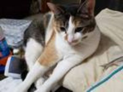 Adopt Bella a Orange or Red Tabby Domestic Shorthair cat in Clarence Center