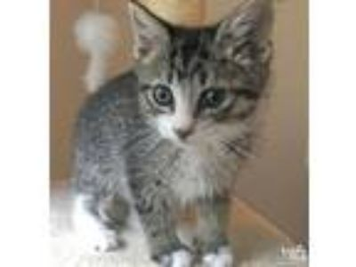 Adopt Purrcey a Brown Tabby Domestic Shorthair / Mixed (short coat) cat in