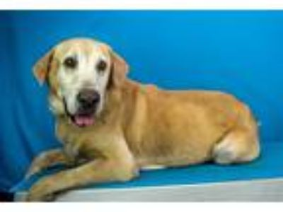 Adopt Tanker a Golden Retriever / Mixed dog in LAFAYETTE, LA (25494911)