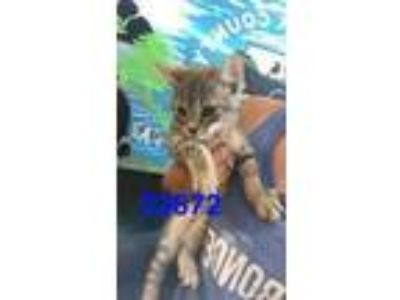 Adopt ROGER a Gray or Blue Domestic Shorthair / Domestic Shorthair / Mixed cat