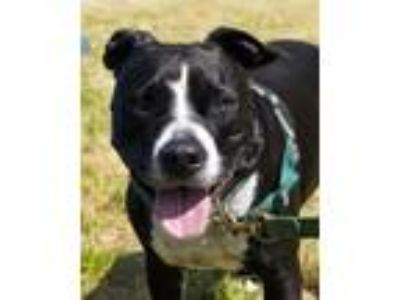 Adopt Tyson a Pit Bull Terrier