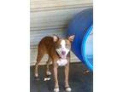 Adopt Sugar 17-263 a Pit Bull Terrier