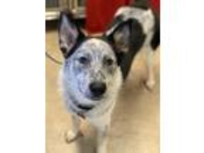 Adopt Hermes a Cattle Dog, Mixed Breed