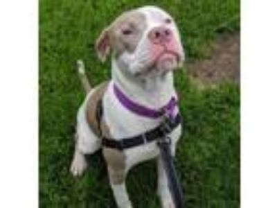 Adopt Alona a Terrier, Pit Bull Terrier