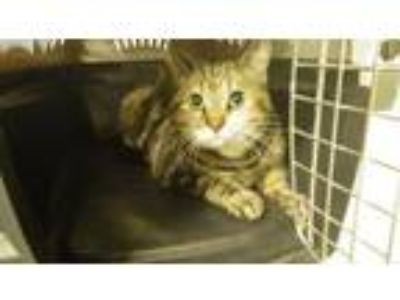 Adopt SCHNITZEL a Domestic Short Hair