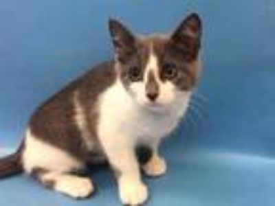 Adopt Jazzy a White Domestic Shorthair / Domestic Shorthair / Mixed (short coat)