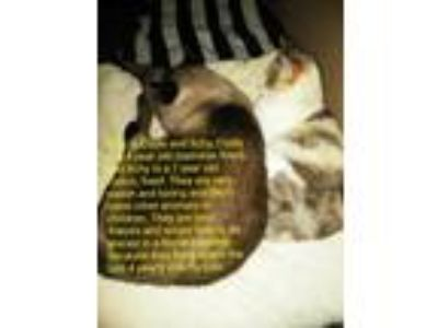 Adopt Clyde and Itchy a Siamese, Calico