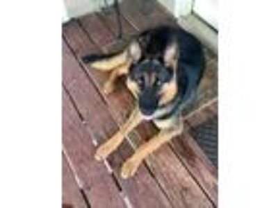 Adopt Anja a German Shepherd Dog