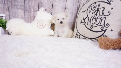 Malchipoo - Male - Stevie ($900)