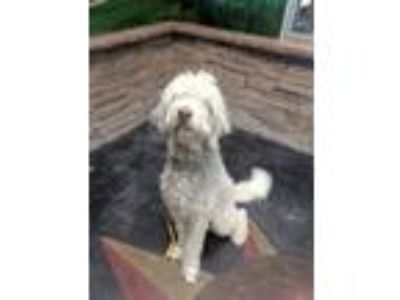 Adopt Curly-Jo a Old English Sheepdog, Poodle