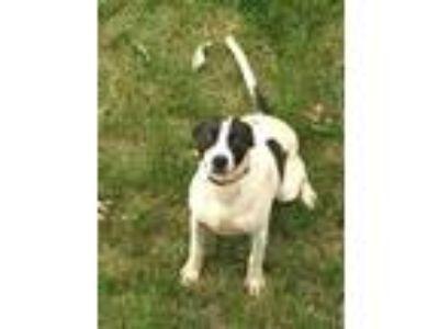 Adopt Winston a Labrador Retriever, Foxhound