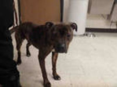 Adopt QUAKER a Brindle American Pit Bull Terrier / Mixed dog in Los Angeles