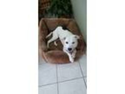 Adopt Effy a White - with Black American Pit Bull Terrier dog in Aurora