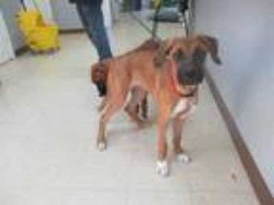 Adopt *BRUCE a Tan/Yellow/Fawn - with Black Boxer / German Shorthaired Pointer /