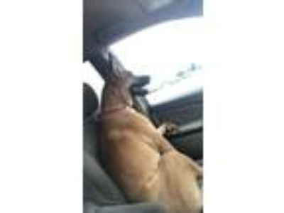Adopt Sadie a Tan/Yellow/Fawn - with Black German Shepherd Dog dog in Lexington