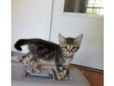 Adopt Jade a Domestic Short Hair