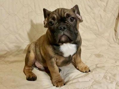 French Bulldog PUPPY FOR SALE ADN-103662 - French bulldog puppy