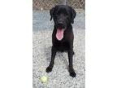 Adopt Palmer a Black Labrador Retriever / Mixed dog in Bryson City