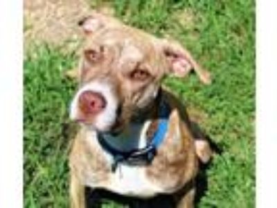 Adopt Cheese a Brindle Boxer / Hound (Unknown Type) / Mixed dog in Valley View