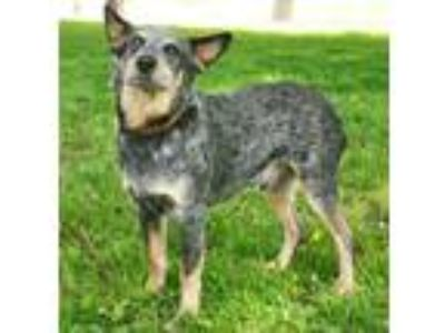 Adopt Pepper a Cattle Dog