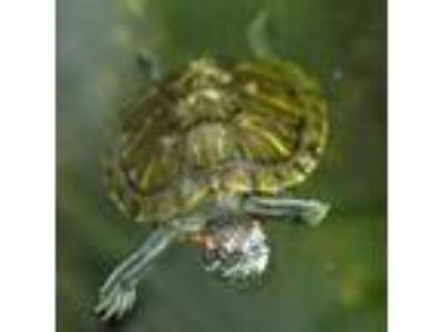 Adopt Joe a Turtle - Other / Mixed reptile, amphibian, and/or fish in