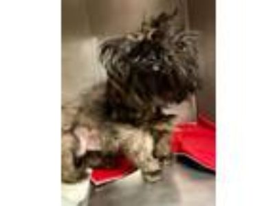 Adopt Mason a Shih Tzu, Mixed Breed