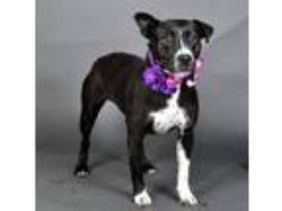 Adopt Jezelle a Pit Bull Terrier, Mixed Breed