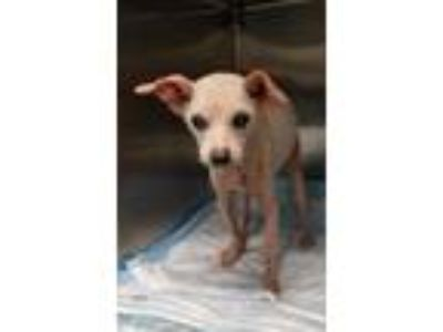 Adopt THELMA a White Feist / Mixed dog in Clinton, NC (25657395)